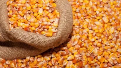 Кукуруза зерно
